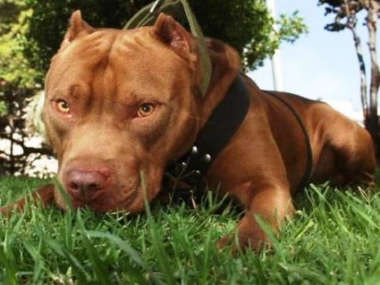Denunció al vecino por las heridas que sufrió su Pitbull