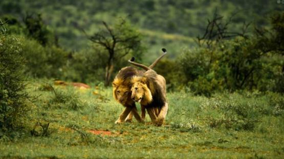 En Kenia culpan al turismo gay por la homosexualidad de los leones