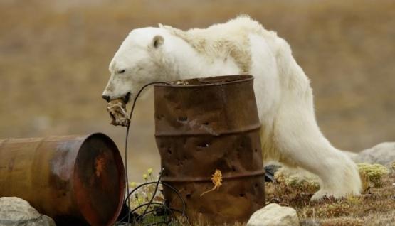 Desgarradora imagen de oso polar hizo llorar a los documentalistas