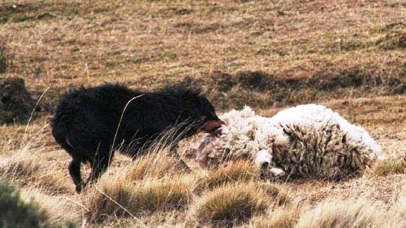 Los perros atacan principalmente a las ovejas, entre otros animales.