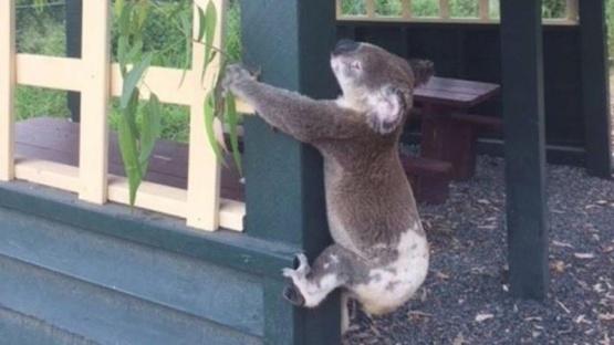 Indignación en Australia: dejaron un koala atornillado a un poste