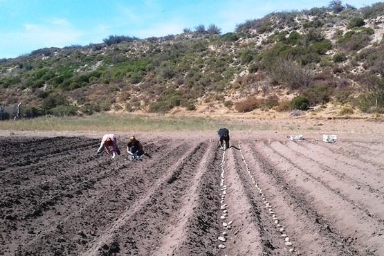 Avanza la evaluación de papa semilla en el valle de Los Antiguos