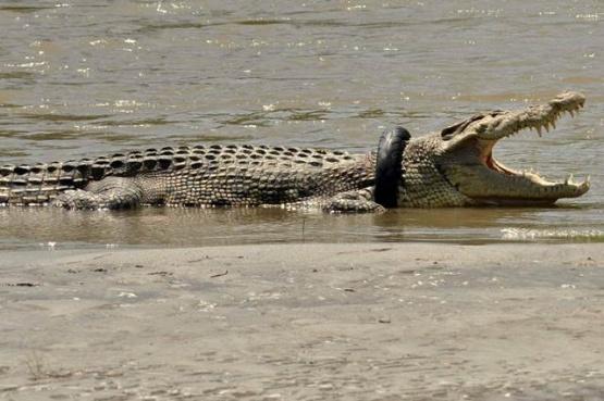 El cocodrilo que lleva más de un año con una rueda en el cuello