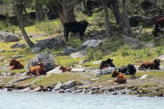Comienza la extracción del ganado bagual del PN Los Glaciares