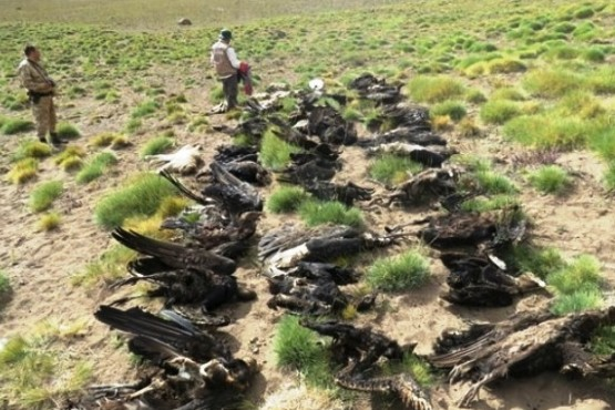 Hallaron 34 cóndores muertos en Mendoza