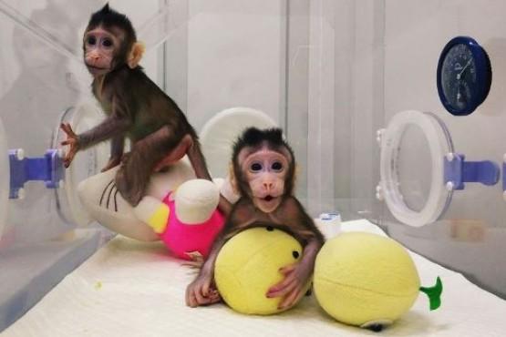 Con la técnica de la oveja Dolly, China clonó monos por primera vez en el mundo