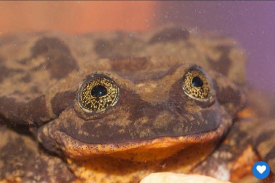Romeo: la rana boliviana que lleva 9 años buscando una hembra para aparearse