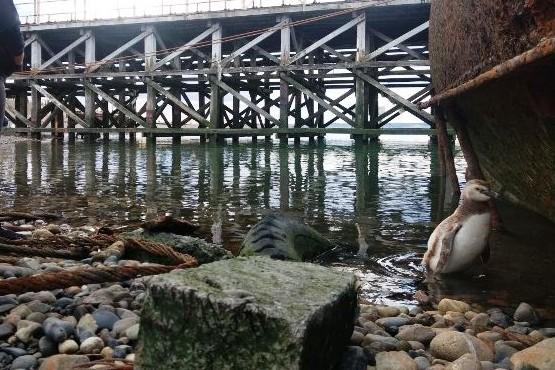 Sorpresiva aparición de un pingüino en la costanera local
