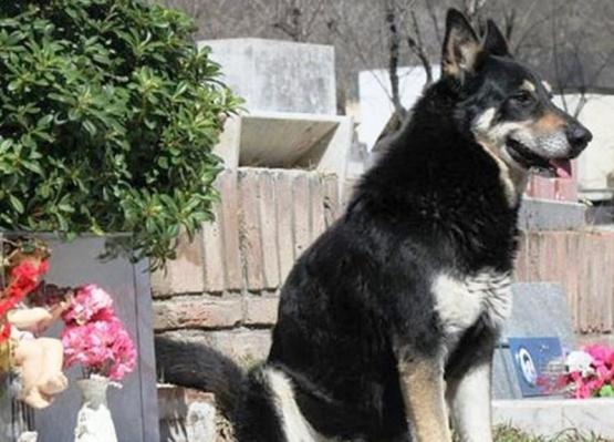 Murió Capitán, el perro que vivía junto a la tumba de su dueño desde hace 10 años