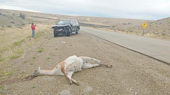 Cinco guanacos muertos.