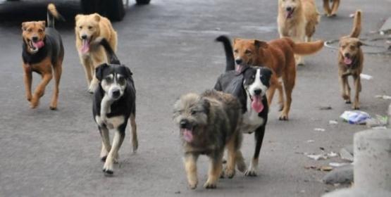 Concejales analizan tasa y emergencia por superpoblación canina