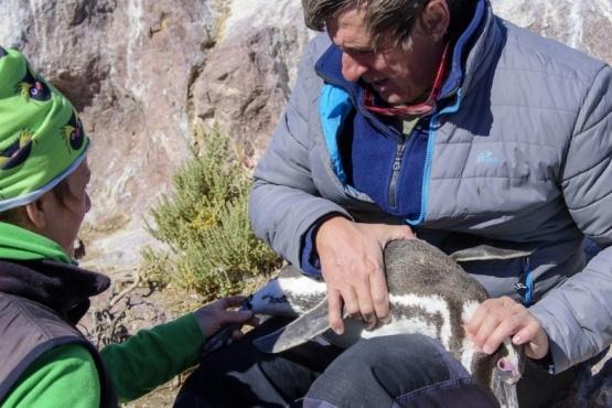 El centinela de los pingüinos: un biólogo porteño se ocupa de protegerlos