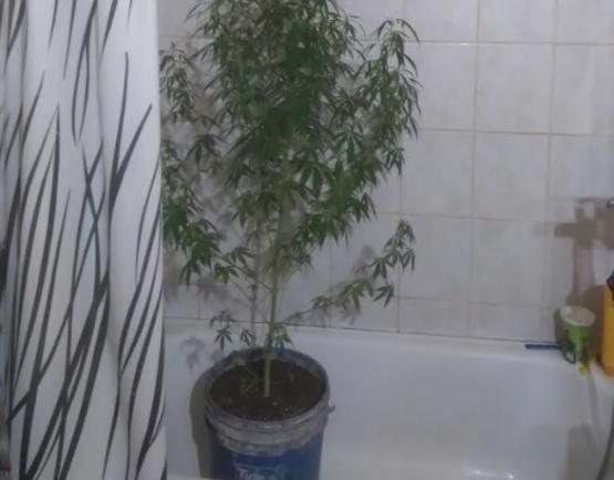 Encontraron la planta en el allanamiento.