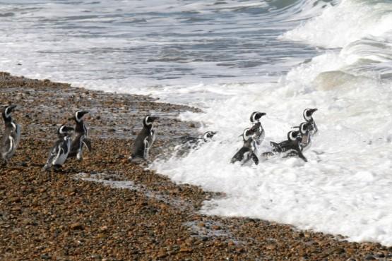 El rol de Parques Nacionales en la conservación del Pingüino