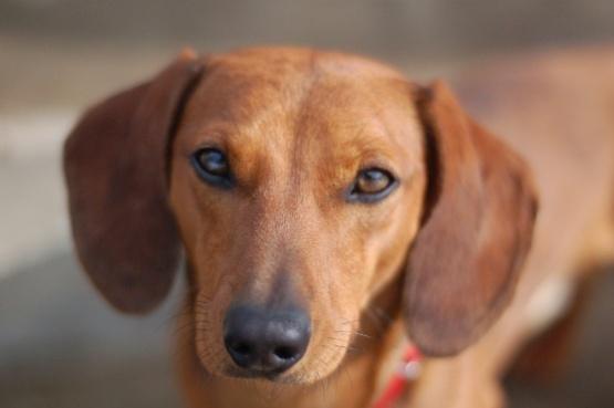 Una mujer murió tras ser atacada por perros salchicha
