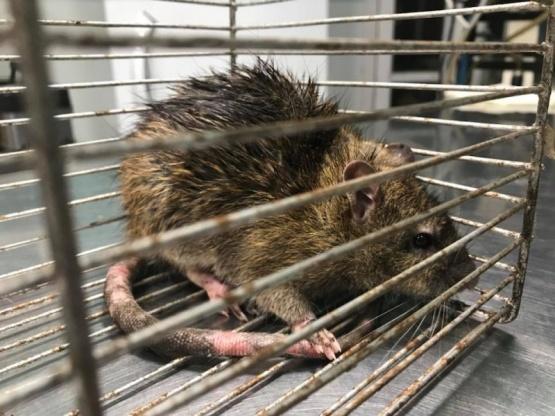 Puerto Deseado: encontraron al roedor urbano más grande