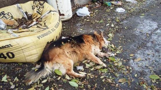 Perro envenenado a 100 metros de un colegio