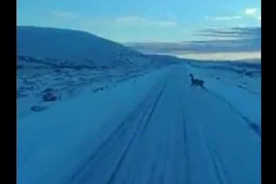 Rutas congeladas: mirá el blooper del guanaco