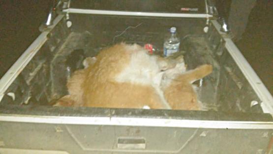 Personal de Operaciones Rurales secuestra animales faenados y armas de fuego