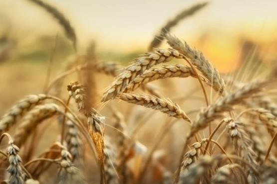 Publicaron el primer genoma del trigo, un hito científico que afectará al 30 por ciento del alimento humano