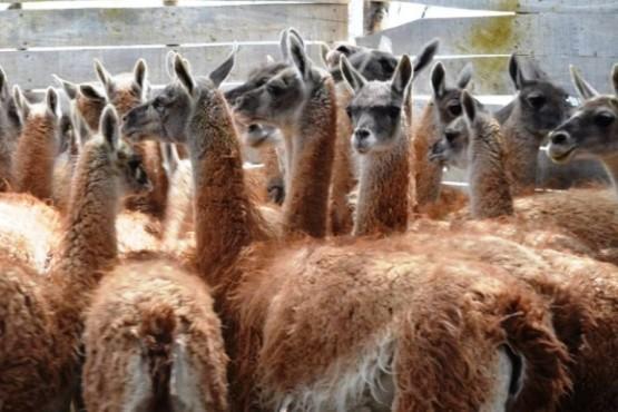 Santa Cruz exportará 20 toneladas de carne de guanaco a Europa