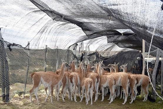 El frigorífico que exporta carne de guanaco duda de su rentabilidad