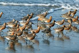 Se conmemora el Día Mundial de las Aves Playeras
