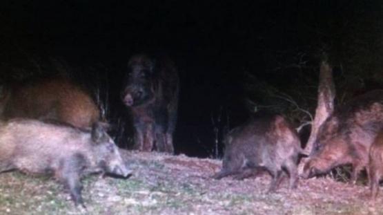 Alarma por presencia de jabalíes en Bariloche