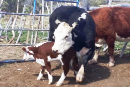 Tres demorados en un allanamiento por el hurto de ganado mayor