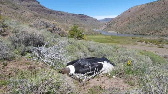 Encontraron 23 cóndores andinos muertos en la Patagonia