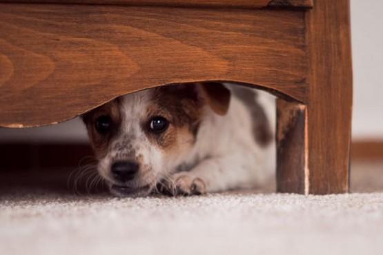 Una de cada cinco mascotas perdidas suelen ser a causa de la pirotecnia