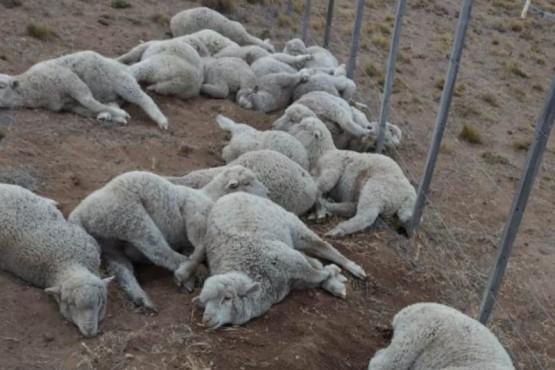 Luego de cortar un alambrado, los ladrones de ganado ovino habían dejado maneados numerosos animales, pero escaparon al ser sorprendidos por un peón. Más tarde los atrapo la policía.