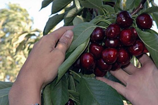 Funcionarios argentinos y chinos certificaron el primer envío de cerezas argentinas al país asiático y además visitarán Santa Cruz