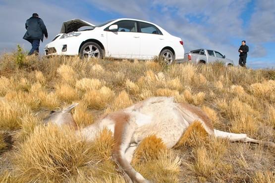Hubo tres accidentes a causa de los guanacos