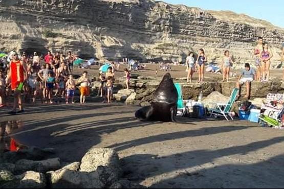 Un lobo marino gigante sorprendió a todos en la playa