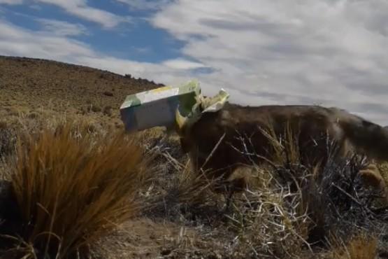 Camionero chileno salvó a un zorro en la Patagonia