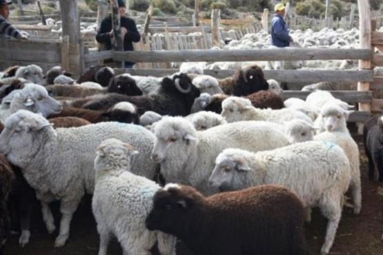 Las ovejas productoras de lana de color