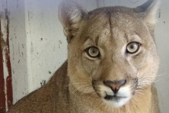 Mascotismo: Rescatan a un puma capturado en Trelew