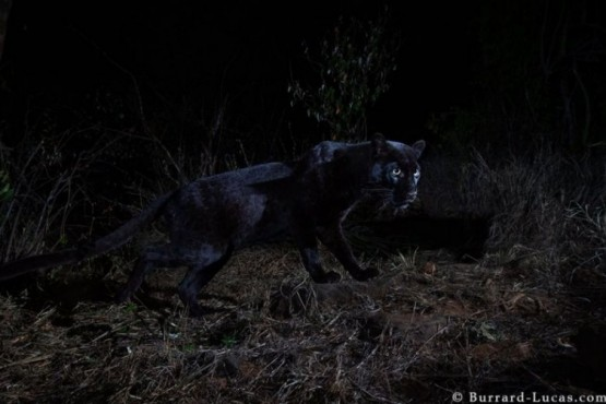 Leopardo negro en Kenia. FOTO: BURRARD-LUCAS