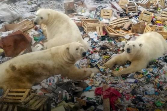 La mayor amenaza a los osos polares