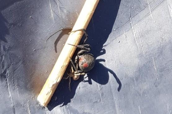 Encontró una arañaviuda negra y lo publicó en las redes