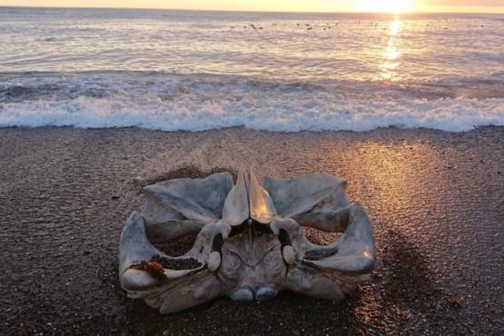 Apareció el cráneo de una ballena en la playa