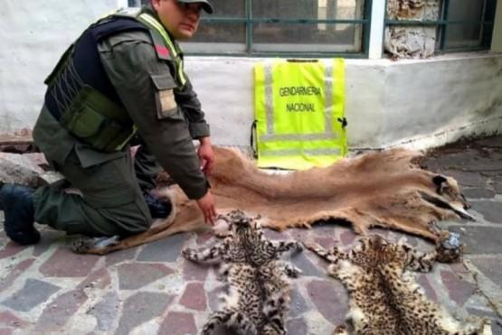 Gendarmería Nacional secuestró cueros de felinos