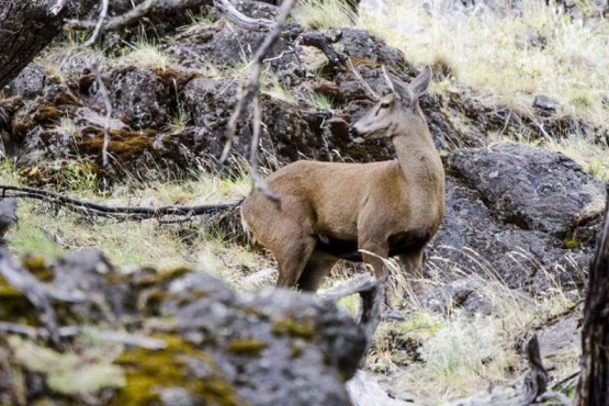 Nuevas imágenes de un huemul en el Parque Nacional los Glaciares