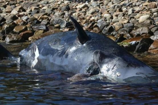 Murió una ballena embarazada con 22 kilos de plástico en el estómago