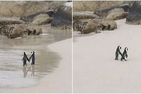 Video muestra adorable escena de pingüinos en la playa