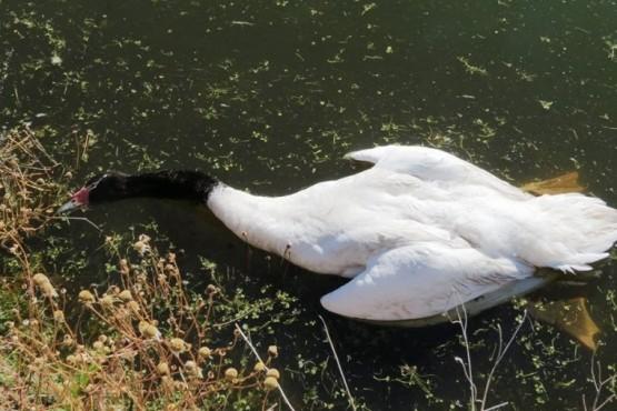 60 cisnes muertos por ataques de perros en el último mes