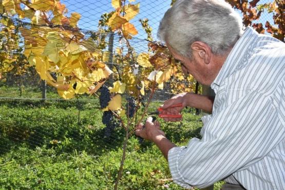 La vendimia invita a vivir la cosecha de la uva