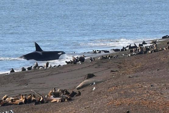 Captó el momento en que una orca se prepara para atacar lobos marinos en Península Valdés