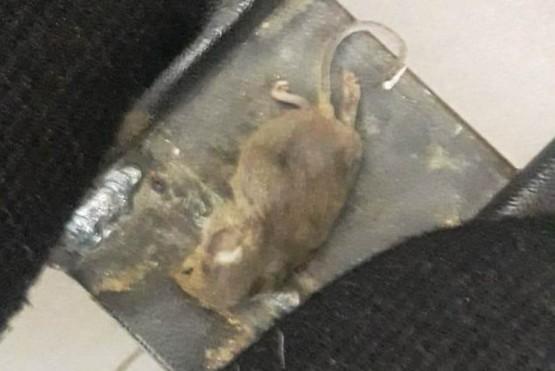 Se fue a sacar sangre para la libreta sanitaria y encontró una rata